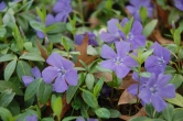 Periwinkle is a great shade groundcover
